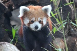 Red Panda Exhibit New Bedford MA